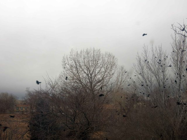 blackbirds1