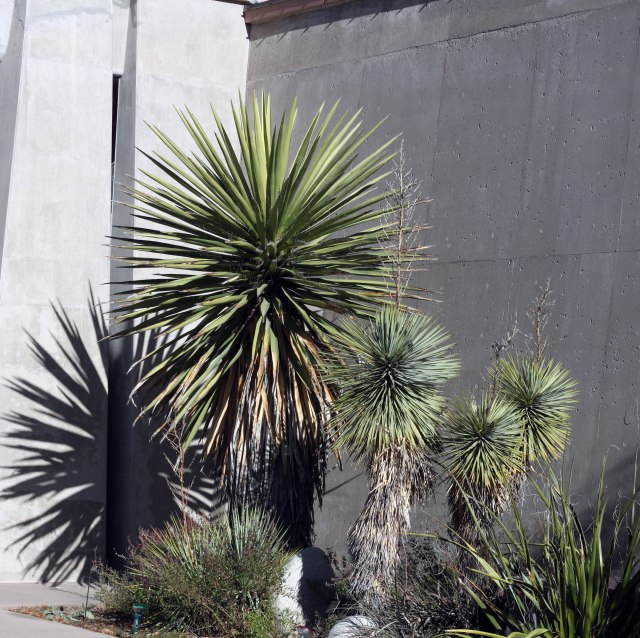 Yucca faxoniana and Y. thompsoniana, and Hesperaloe funifera