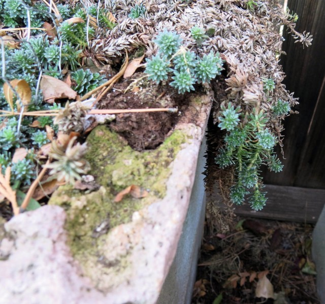 saxifrage with label buried too far into the soil to find