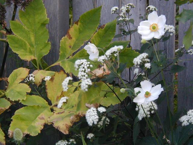 Angelica gigas, Eupatorium rugosum 'Chocolate', Anemone 'Honorine Jobert'