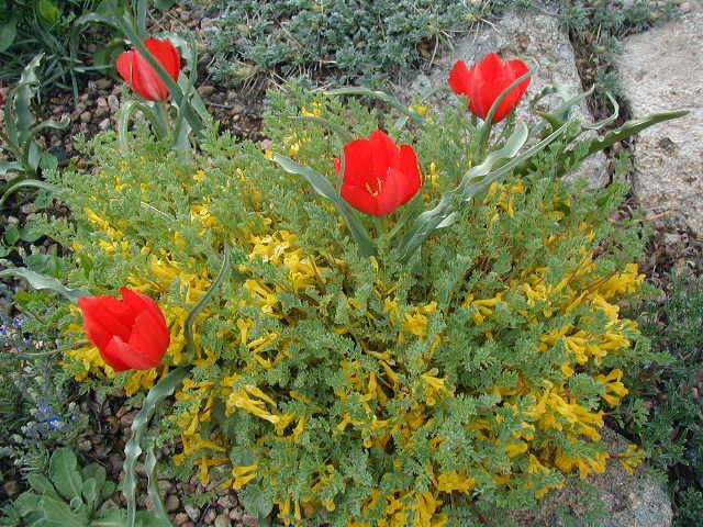 Corydalis aurea and tulips