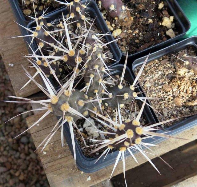 maybe Maihueniopsis glomerata ssp. platyacantha