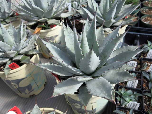 extra blue form of Agave parryi var. neomexicana, maybe a hybrid, but hardy