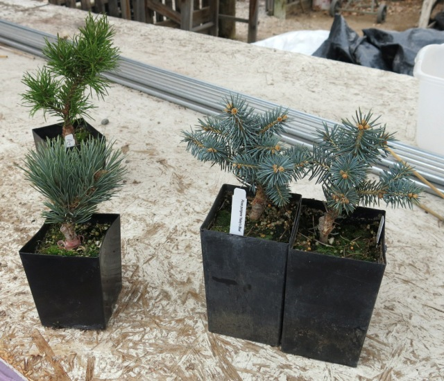 some of the conifers he brought home