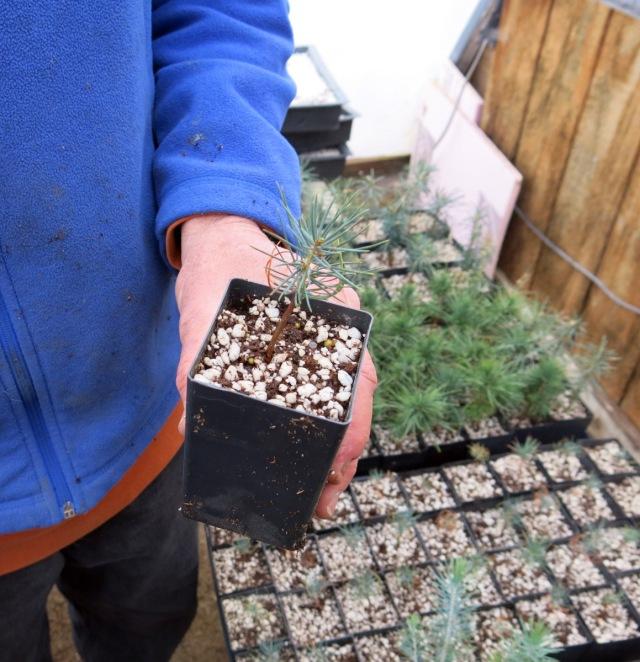 Kirk holding a seedling Cedrus libani var. stenocoma