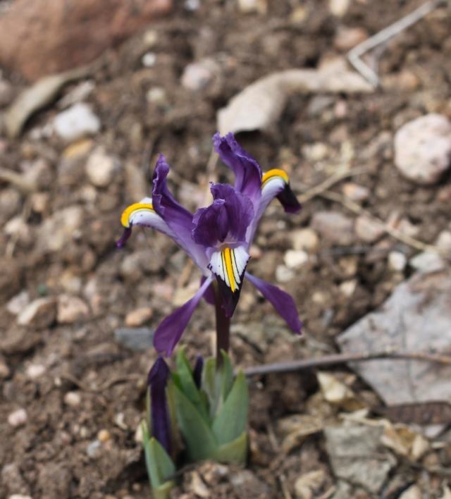 Iris rosenbachiana Tovil Dara