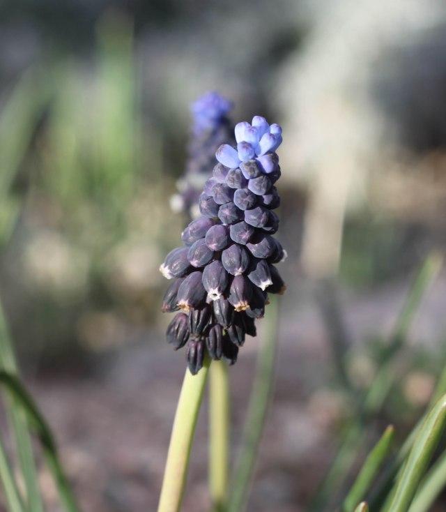 Muscari leucostomum