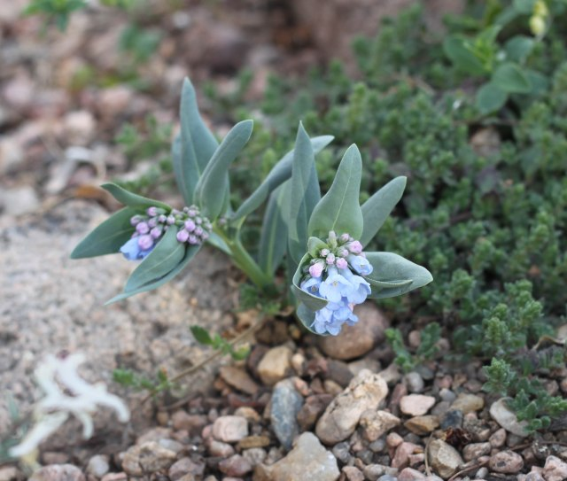 harbinger of springtime in the Rockies, Mertensia lanceolata