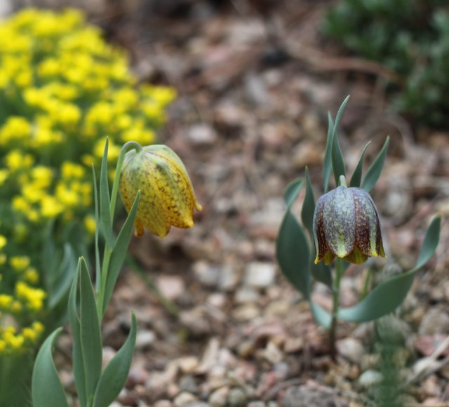 Fritillaria crassifolia subsp. kurdica, two color forms.