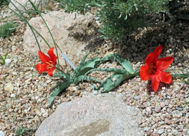 Tulipa butkovii