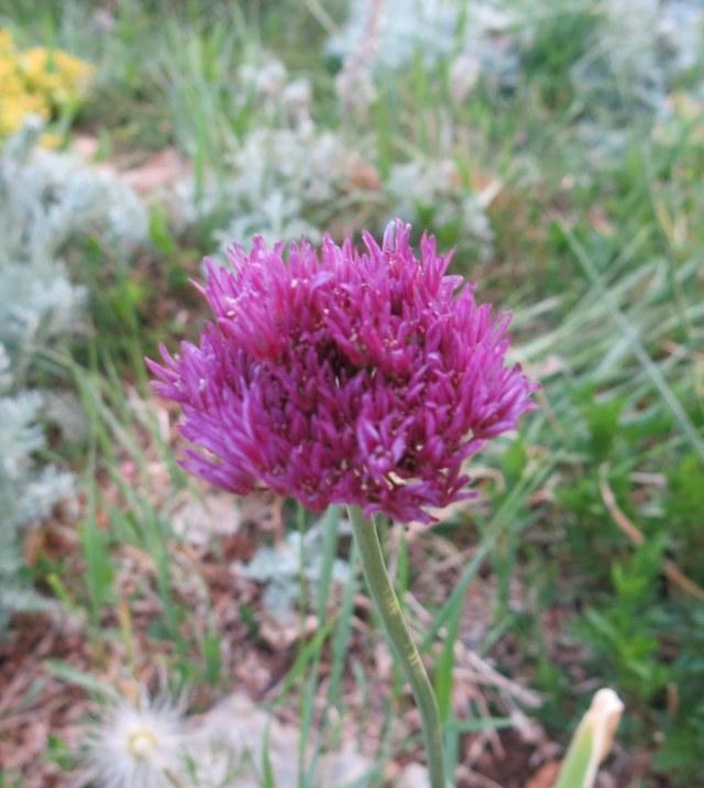 Allium winklerianum