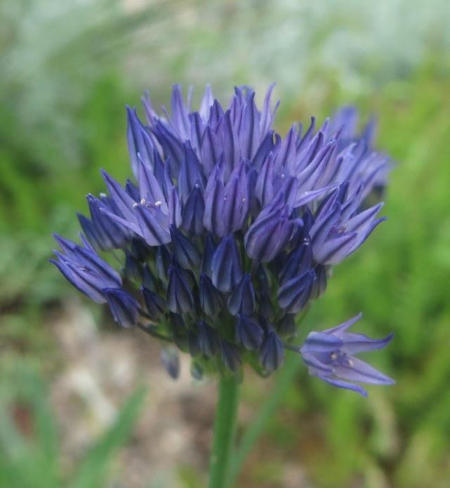 Allium litwinowii
