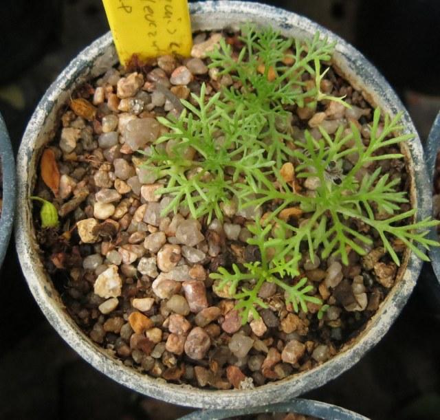Anthemis cretica subsp. leucanthemoides