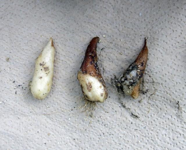 Erythronium tuolumnense
