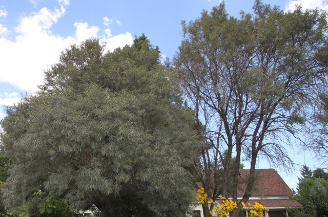 tree form of Hippophae rhamnoides