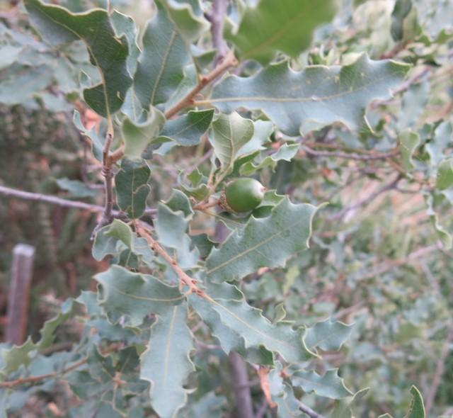 Quercus undulata