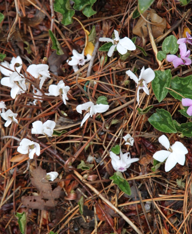 Cyclamen hederifolium in the other side yard (north side)