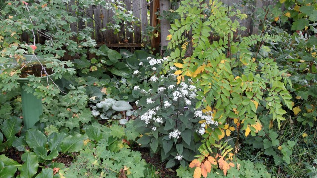 Eupatorium rugosum 'Chocolate' and Sorbus scopulina