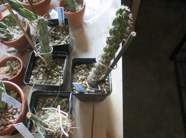 cactus being rooted