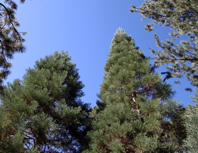 looking up at the sequoias