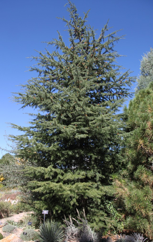 Turkish form of cedar of Lebanon; Cedrus libani var. stenocoma