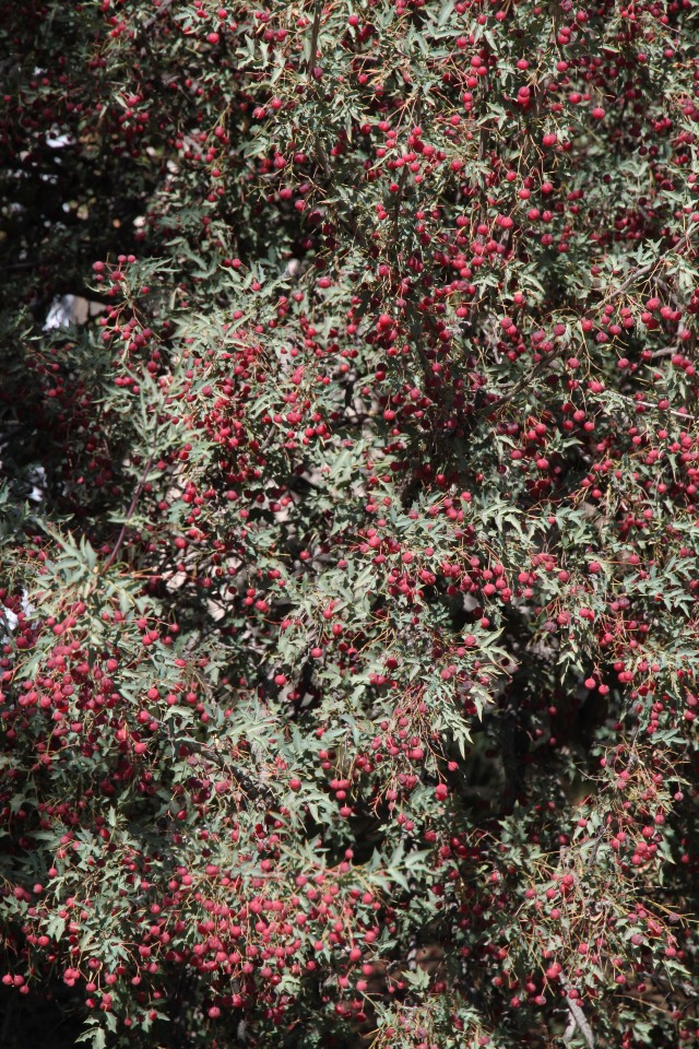 Mahonia haematocarpa in fruit
