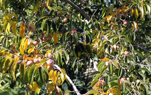 American persimmon, Diospyros virginiana, in fruit