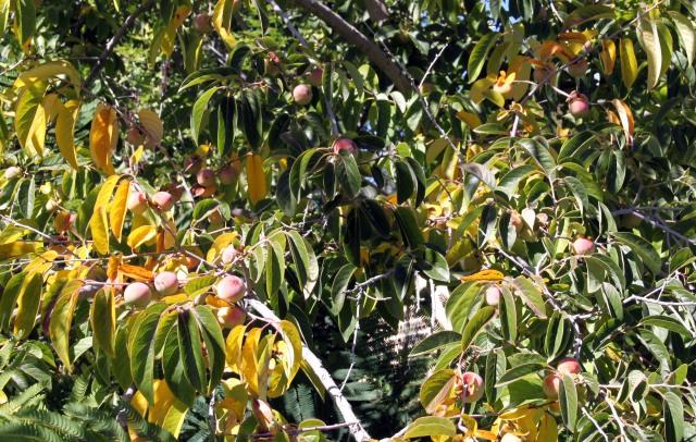 American persimmon, Diospyros virginiana, in fruit
