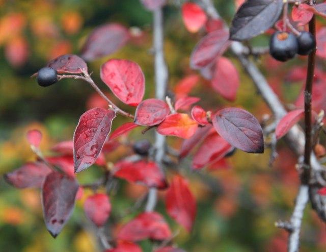 Cotoneaster acutifolius