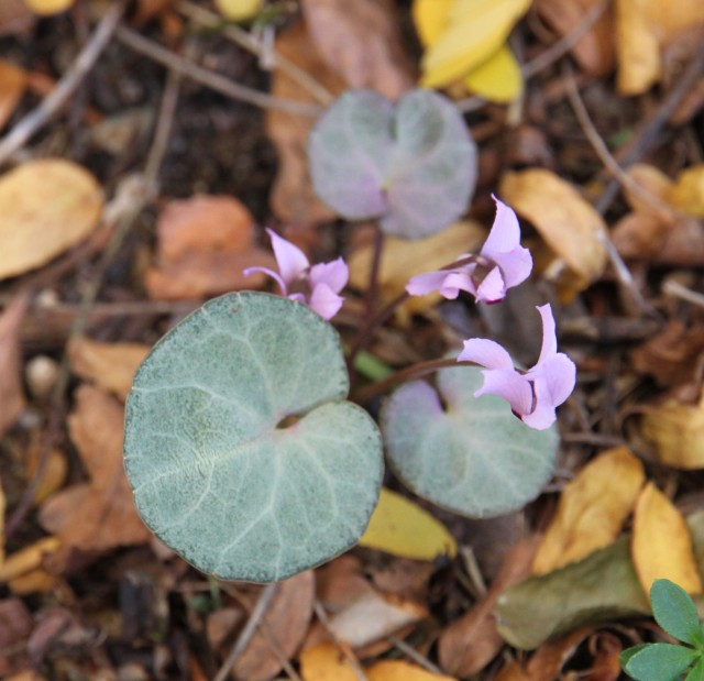Cyclamen mirabile 'Tile Barn Anne'