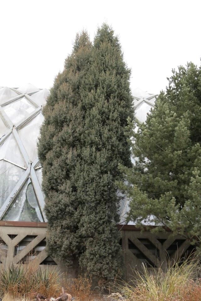 the cypresses from Baja California, Cupressus montana
