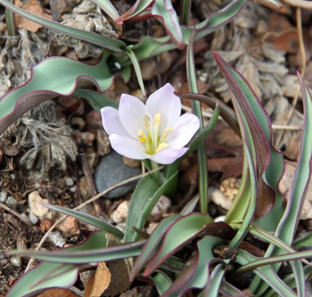 Colchicum hungaricum 'Valentine'