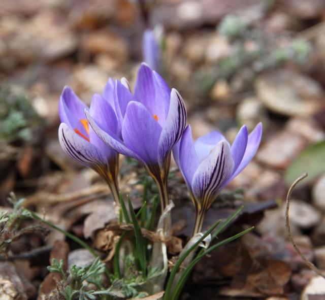 Crocus biflorus subsp. adamii