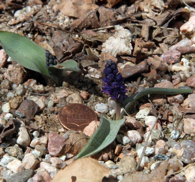 Hyacinthella glabrescens