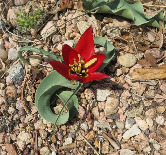 Tulipa armena