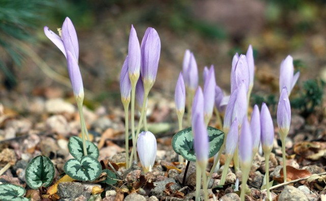 Crocus kotschyanus 'Reliance' with leaves of Cyclamen coum.