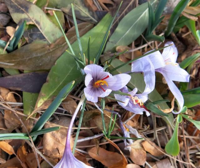 Crocus hadriaticus 'Purple Heart'