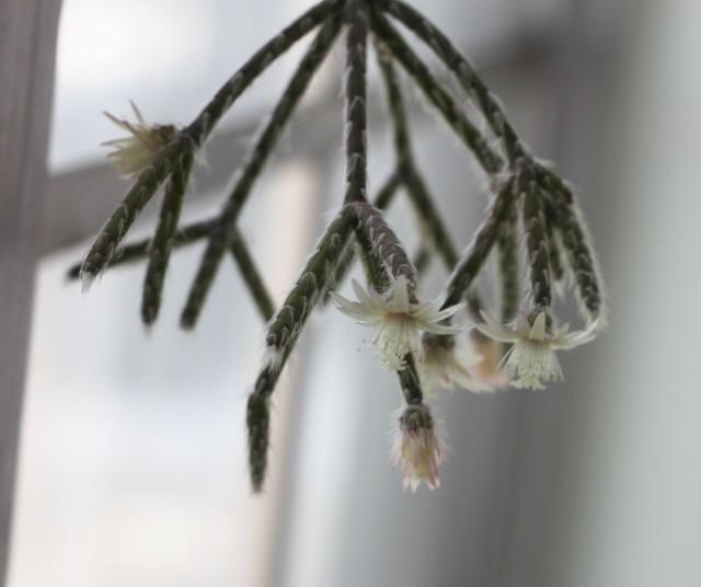 Rhipsalis pilocarpa