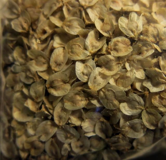 Dasylirion wheeleri seed.