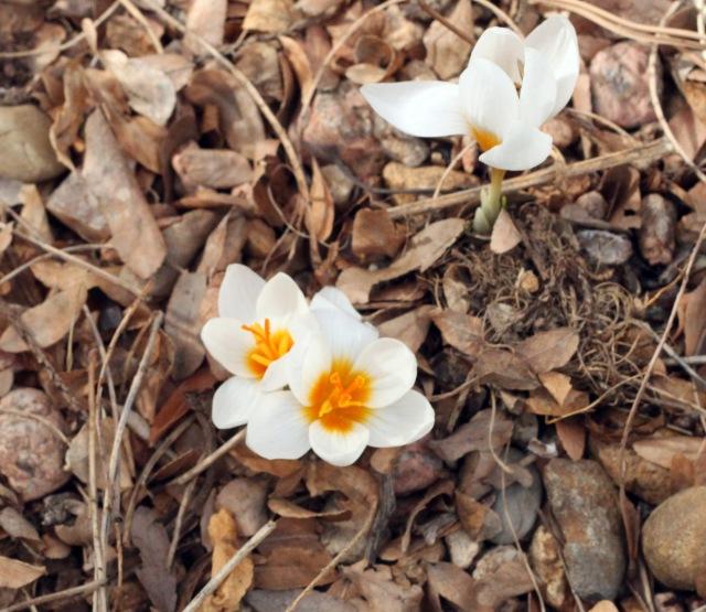 Crocus sieberi var. atticus 'Bowles' White'