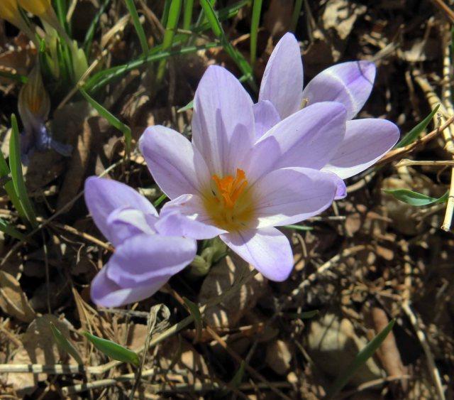 Crocus dalmaticus Petrovac