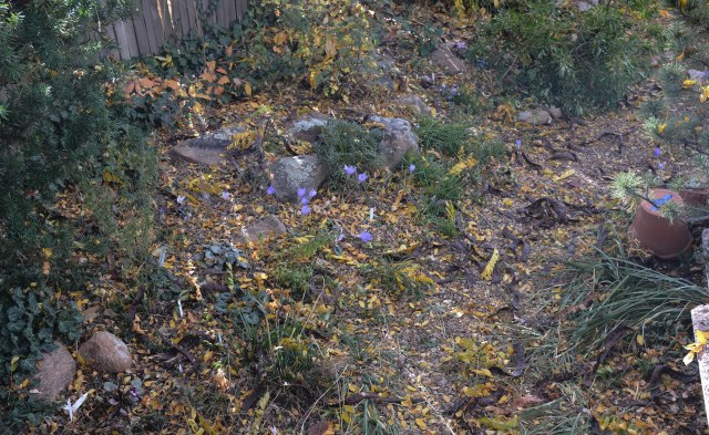 some of the crocuses and cyclamen